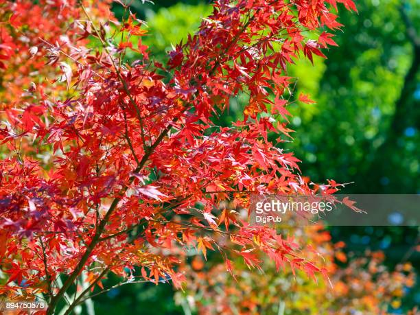 japanese maple tree - free of charge stock pictures, royalty-free photos & images