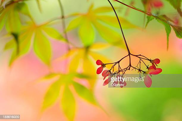 japanese maple tree seeds - ogphoto stock pictures, royalty-free photos & images