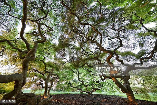 """japanese maple trees - """"greg pease"""" stock pictures, royalty-free photos & images"""