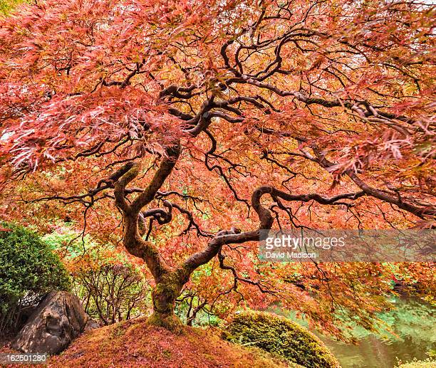 Japanese maple (Acer palmatum) with fall color.