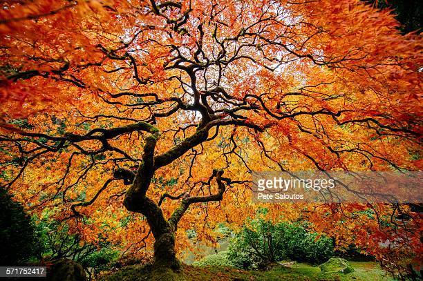 Japanese maple with silhouetted trunk and orange and red leaves