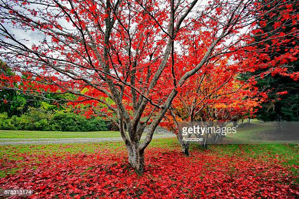Japanese maples Acer palmatum in spectacular autumn color in May WAG Walker Rhododendron Gardens Lalla Tasmania Australia