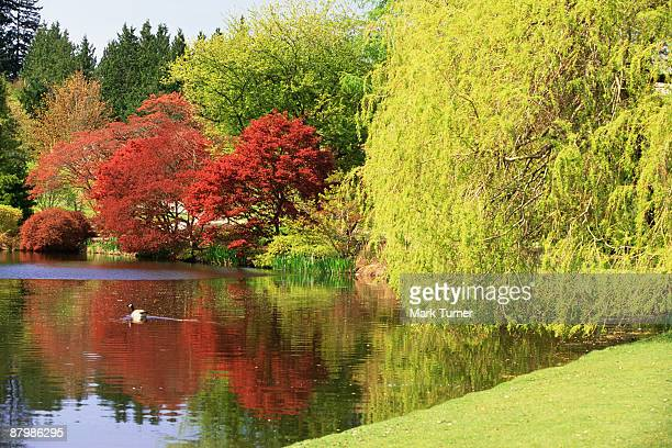 Japanese maples and weeping willow trees by pond