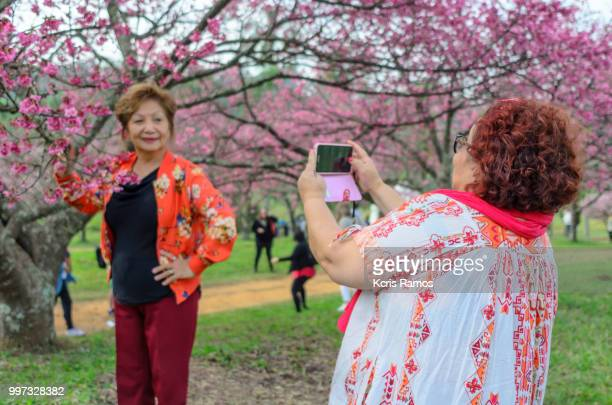 Japanese middle-aged woman with colorful clothes under flowery cherry tree being photographed by another woman on her back at Festival of cherry sakura matsuri, Bunkyos, held July 7, 2018 in Sao Roque Sao Paulo in Brazil.
