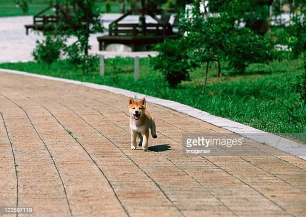 japanese midget shiba - midget stock pictures, royalty-free photos & images
