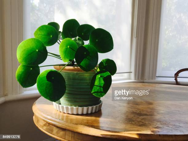 Japanese Money plant on table indoors