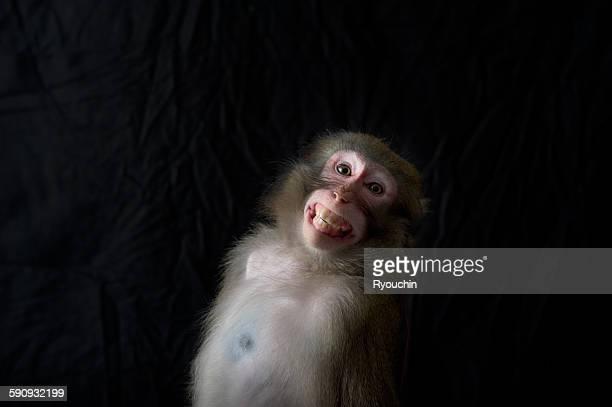 japanese monkey, monkey northern limit - マカク属 ストックフォトと画像