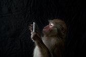 Japanese monkey, Monkey northern limit