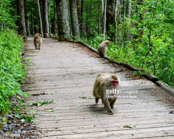 japanese monkey with baby - マカク属 ストックフォトと画像