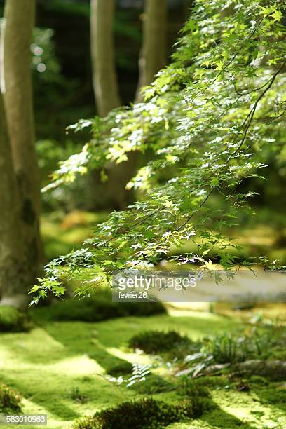 japanese moss garden and maple tree, kyoto - 日本庭園 ストックフォトと画像