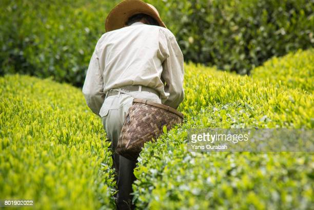 Japanese old man working and picking green tea leaves in Shizuoka