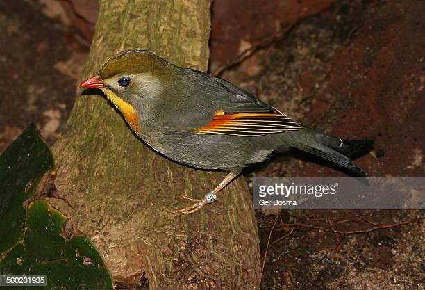 japanese or pekin nightingale - nightingale bird stock pictures, royalty-free photos & images