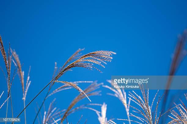 japanese pampas grass - kazuko kimizuka stockfoto's en -beelden