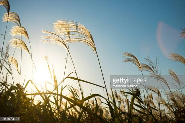 japanese pampas grass - pampa stock-fotos und bilder