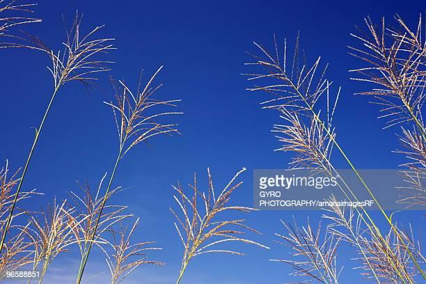 Japanese pampas grass under a blue sky