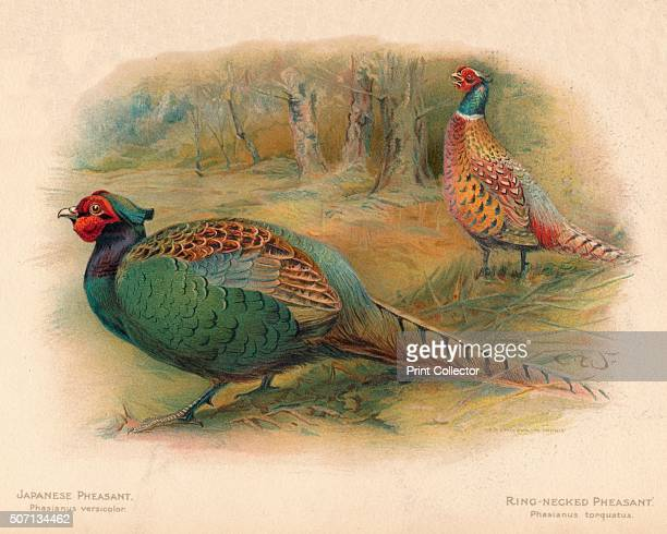 'Japanese Pheasant RingNecked Pheasant ' From The Game Birds and Wild Fowl of The British Islands by Charles Dixon illustrated by Charles Whymper...
