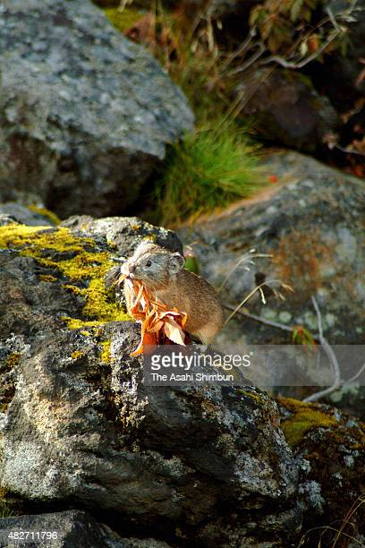 Japanese pika holds a leaf in his mouth on October 23, 2010 in Biei, Hokkaido, Japan.