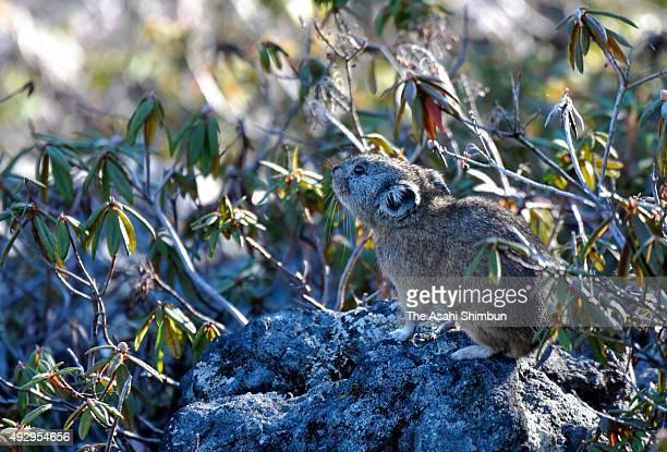 Japanese pika, Ochotona hyperborea yesoensis, is seen in the forest on October 7, 2015 in Biei, Hokkaido, Japan.