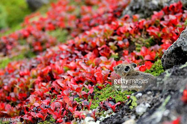 Japanese pika, or Ochotona hyperborea yesoensis, comes out of his hole on the mountainside, where Arctous alpina japonica turns red, to prepare for...