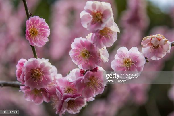 Japanese plum trees or ume are sometimes referred to as Japanese apricot has played an important role in the context of Japanese culture for many...