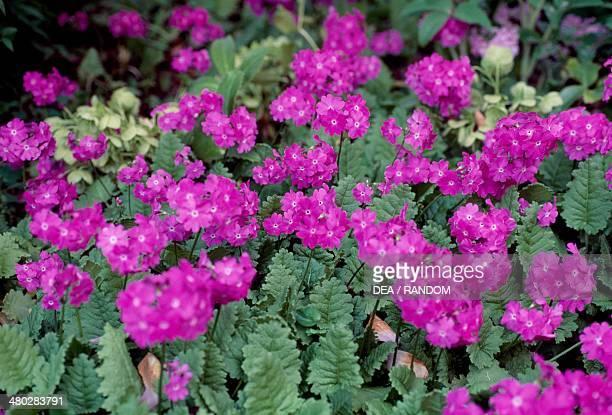 Japanese primrose Primulaceae