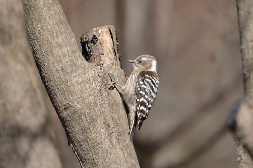Japanese Pygmy Woodpecker - gettyimageskorea