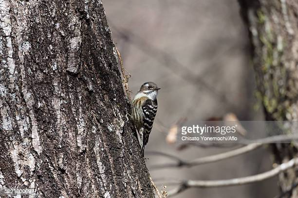 japanese pygmy woodpecker - mole cricket stock pictures, royalty-free photos & images