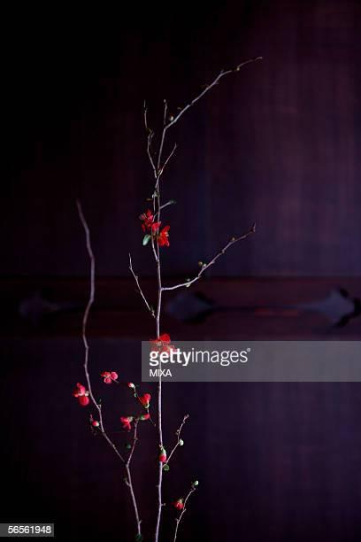 japanese quince (chaenomeles speciosa), close-up - wabi sabi - fotografias e filmes do acervo