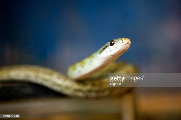 japanese rat snake - rat snake stock photos and pictures