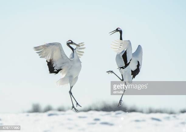 Japanese red crown crane courtship dance