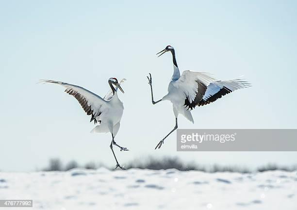日本のレッドの王冠クレーン courtship ダンス