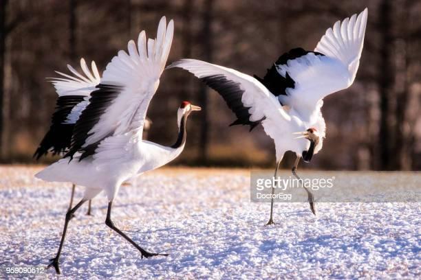 japanese red crown crane - manly wilder stock-fotos und bilder