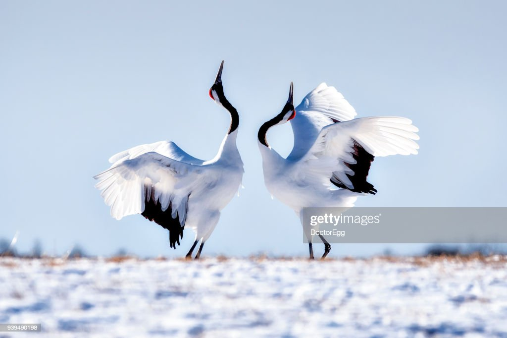 Japanese Red Crown Cranes Dancing on Snow at Tsurui Ito Tancho Sanctuary Japanese Cranes Reservation Center : Stock Photo