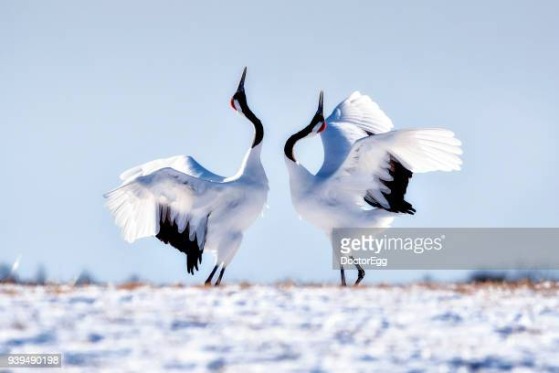 japanese red crown cranes dancing on snow at tsurui ito tancho sanctuary japanese cranes reservation center - begattung kopulation paarung stock-fotos und bilder