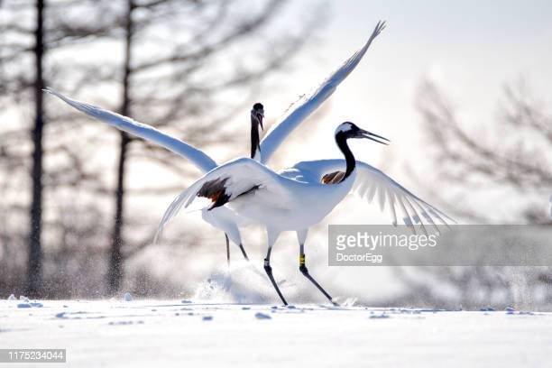 japanese red crowned crane in winter, kushiro, hokkaido, japan - japanese crane stock pictures, royalty-free photos & images