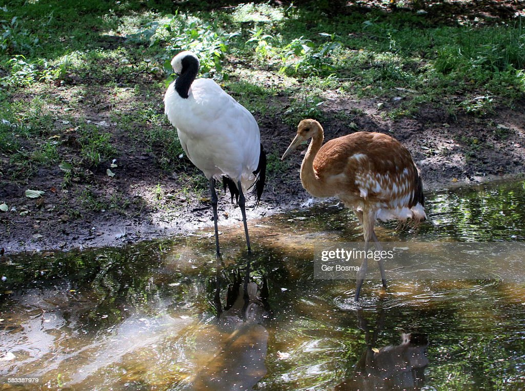 Japanese red crowned cranes : Stock Photo