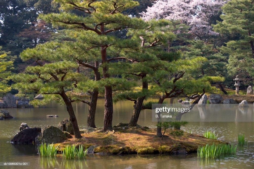 Japanese red pine trees (pinus densifolia) in pond : Foto stock