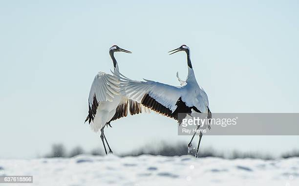 Japanese red-crowned crane courtship dance