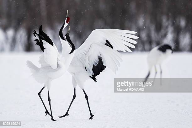 japanese red-crowned crane - japanese crane stock pictures, royalty-free photos & images