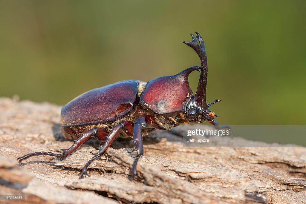 Japanese rhinoceros beetle : Stock Photo