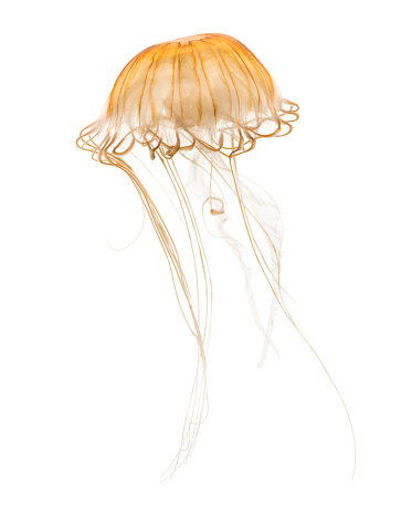 Japanese sea nettle, Chrysaora pacifica, Jellyfish against white background 943988734