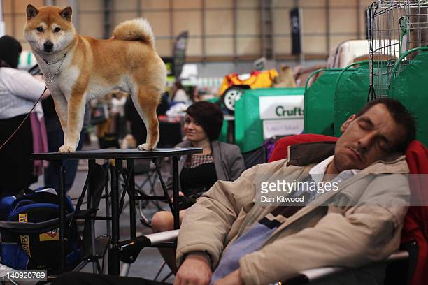 A 'Japanese Shiba Inu' stands on a grooming table beside a man sleeping on day one of Crufts at the Birmingham NEC Arena on March 8 2012 in...