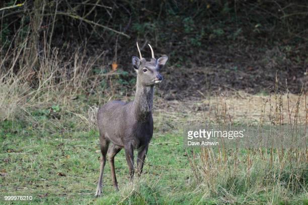 Japanese Sika Deer