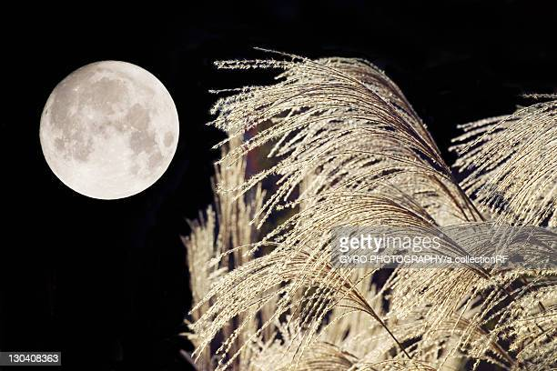 Japanese silver grass and moon