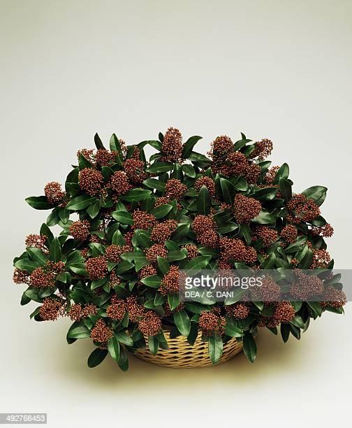 Japanese skimmia , Rutaceae.