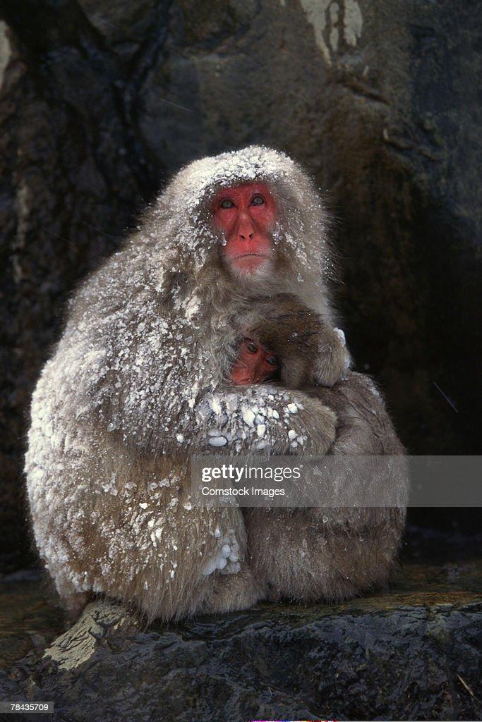 Japanese snow ape hugging offspring : Stockfoto