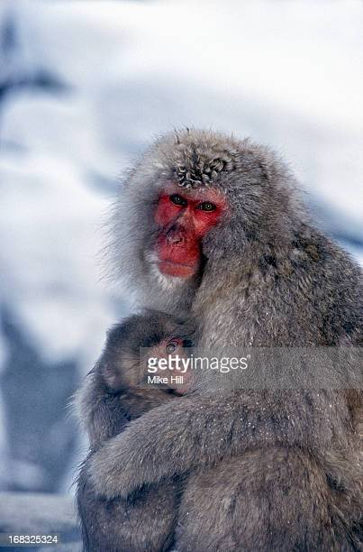 Japanese snow monkey and baby