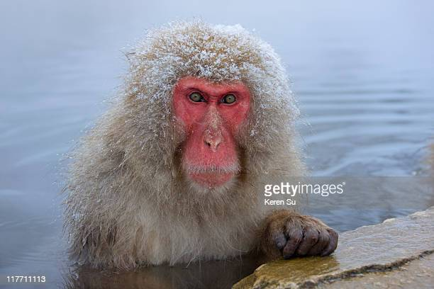 Japanese Snow Monkey in hotspring