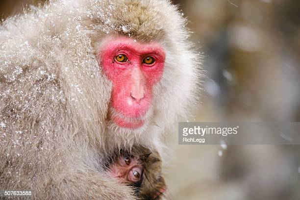 japanese snow monkey mother in the wild - primate stock pictures, royalty-free photos & images