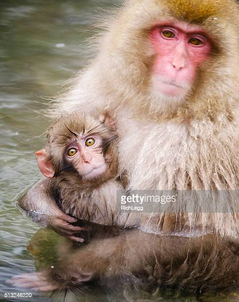 Japanese Snow Monkey Mother in the Wild